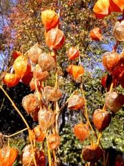 Lampionblumen im Spätherbst / Foto: R.Geisler
