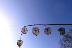 Die zarten Netze der Lampionblumen vor blauem Himmel / Foto: R. Geisler