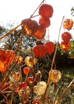 Lampionblumen im Gegenlicht / Foto: R.Geisler