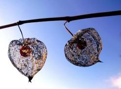 Fragile Netze der Lampionblumen vor blauem Himmel / Foto: R. Geisler
