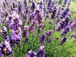 Entspannung pur, mit Lavendel - Foto: R. Geisler